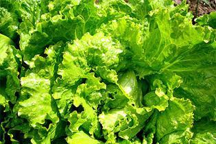 Листовой салат сохранит женскую молодость