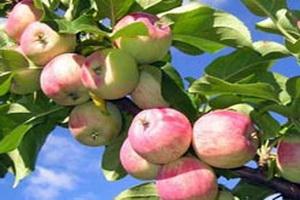 Ежедневное употребление яблок поддерживает мышцы в тонусе